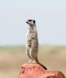 meerkat raźny suricate Zdjęcia Stock