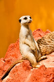 Meerkat on the red lava rock Stock Image
