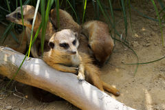 Meerkat relaxation Royalty Free Stock Photo