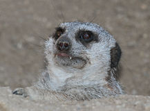 Meerkat. Relaxed African Meerkat Resting On Sandy Ground stock photo