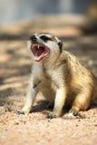 Meerkat Relaxing Day Stock Photos