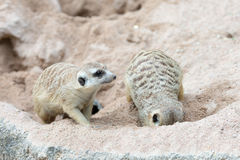 Meerkat Relaxing Day Royalty Free Stock Photo