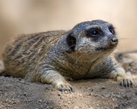 Meerkat at Rest. A meerkat rests on the dirt Stock Image