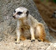 A Meerkat Rest In The Shade. The meerkat or suricate, Suricata suricatta, is a small mammal belonging to the mongoose family. Meerkats live in all parts of the Royalty Free Stock Image