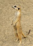 Meerkat restant Photo libre de droits
