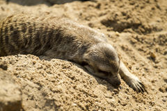 Meerkat rested on a sand. One hot afternoon in Ubon Ratchatani Zoo, Thailand, this Meerkat rested on a sand after lunch Royalty Free Stock Photos
