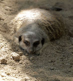 Meerkat resting Stock Images