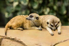 Meerkat resting on ground. Two meerkat resting on ground in zoo, Thailand Stock Photo