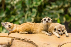 Meerkat resting on ground. Royalty Free Stock Images