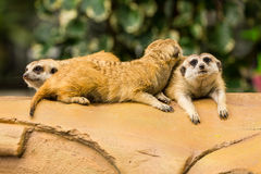 Meerkat resting on ground. Royalty Free Stock Photography