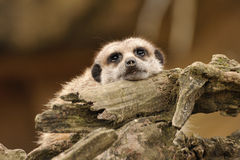 Meerkat. Resting on a log Stock Images