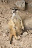 Meerkat resting in open zoo Royalty Free Stock Image