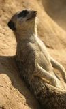 Meerkat resting on a rock. The Meerkat is a mongoose of the African grasslands. Like other Mongooses, Meerkats hunt with amazing agility. Delicacies such as bugs Stock Image