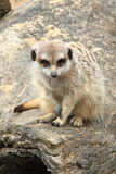 Meerkat. Resting and showing off claws Royalty Free Stock Photography