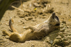 Meerkat resting Royalty Free Stock Photos