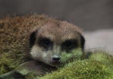 Meerkat resting Stock Photography
