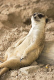 Meerkat resting in zoo Royalty Free Stock Photo