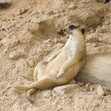 Meerkat resting in zoo Stock Photography