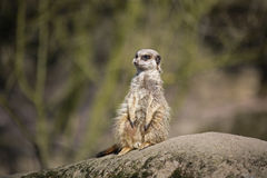 Meerkat on rock Stock Image
