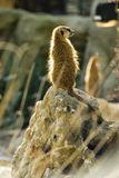 Meerkat on rock Stock Photos