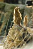 Meerkat on rock Stock Photos
