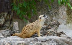 Meerkat on the rock Stock Photo