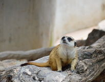 Meerkat on the rock Royalty Free Stock Photo