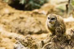 A meerkat on a rock Royalty Free Stock Images