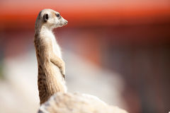 A meerkat on rock guards Royalty Free Stock Images