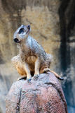Meerkat on a Rock Looking Up Royalty Free Stock Photography