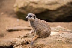 Meerkat on a rock Stock Photo