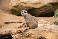 Meerkat on a rock Stock Photography