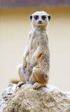 Meerkat on rock Royalty Free Stock Photo