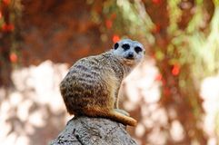 Meerkat on a rock. Royalty Free Stock Image