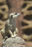 Meerkat on rock. Stock Photos