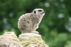 Meerkat on rock Royalty Free Stock Photography