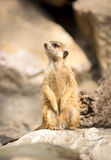 Meerkat on a rock Stock Image