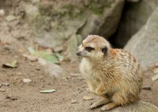 Meerkat on the Rocks 2 Royalty Free Stock Images