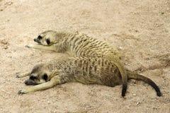 Meerkat sömn Arkivfoton