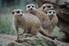 Meerkat's family. Seating on the stone Stock Photo