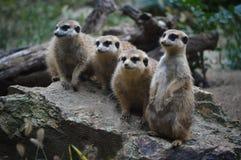 Meerkat's family. Seating on the stone Stock Photos