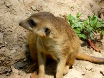 A Meerkat's side Stock Image