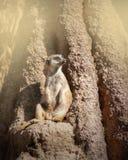 Meerkat sammantr?de p? en vagga royaltyfri foto
