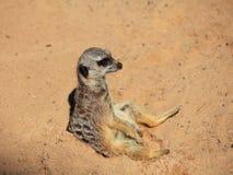Meerkat sammanträde i sand Arkivfoton