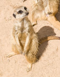 Meerkat on sand Stock Photos