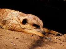 Meerkat on sand Stock Images