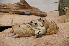 Meerkat on sand. They are meerkats on sand.this place is in east of thailand Stock Images