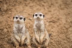 A meerkat in the sand. The picture was taken in warm shades of brown. It is looking above stock photography