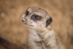 A meerkat in the sand. The picture was taken in warm shades of brown. It is looking above royalty free stock photos