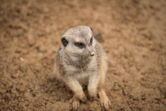 A meerkat in the sand. The picture was taken in warm shades of brown. It is looking above royalty free stock image